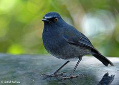 White-bellied Shortwing (Nilgiri Blue Robin)