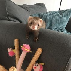 "828 Likes, 5 Comments - I love Ferrets (@ferrets_fanclub) on Instagram: ""❤️ DoubleTap & Tag a Friend below⤵ Following @ferrets_fanclub for some awesome photos !!! If you…"""