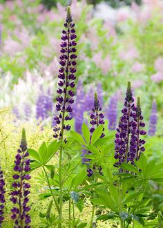 Lupins - girls do you remember these on our trip to the East coast:-)... they were everywhere...