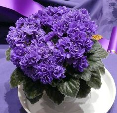 maravillosa......Miniature African Violets | Ness' Crinkle Blue - Best Miniature African Violet