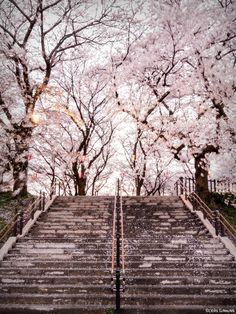 Cherry blossoms and steps.