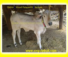 Ongole Cattle images. Ongole Cow at Nellore. Ongole Cow Picture