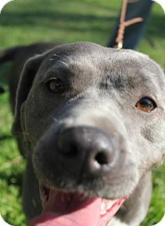 CIMG5547 | The Dogs of San Francisco |Weimaraner Lab Pit Mix