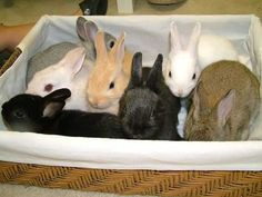 Netherland Dwarf Baby Rabbits for Sale