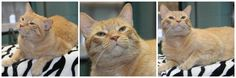Popcorn Park Riley is an adoptable Domestic Short Hair-orange searching for a forever family near Forked River, NJ. Use Petfinder to find adoptable pets in your area.