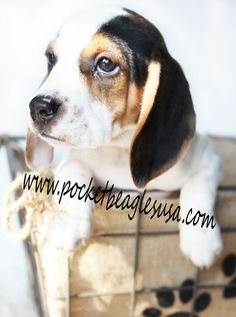 Wonderful Small Beagle Adorable Dog - 04f64518e18985e38c79ad7c251d575c--pocket-beagle-puppies-puppies-puppies  Photograph_586164  .jpg