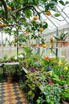 Conservatory in spring with orange tree and wide range of flowering and foliage . - Conservatory in spring with orange tree and wide range of flowering and foliage plants in pots on bench and shelves Source by happybaboon - Backyard Greenhouse, Small Greenhouse, Greenhouse Plans, Greenhouse Wedding, Portable Greenhouse, Greenhouse Shelves, Greenhouse Vegetables, Garden Shelves, Planet Decor
