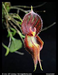 Lepanthes nycterus. A species orchid (color)