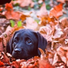 Lab puppy in fall leaves
