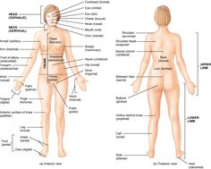 Anatomical Locations Of Human Body Orientation and directional terms anatomical…