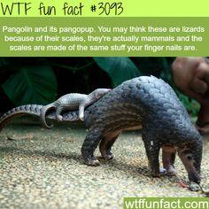 Pangolin and its pangopup - WTF fun facts