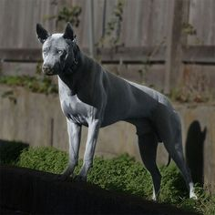 Gorgeous Thai RidgeBack, Blue we have a few of these am almost positive Big Dogs, Cute Dogs, Dogs And Puppies, Doggies, Coyotes, Thai Ridgeback, Hound Dog Breeds, Dog Rules, Beautiful Dogs