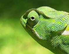 A-Z Animals ~ All About Chameleons