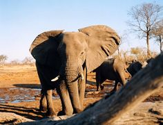Migration routes in Botswana and Zimbabwe host about 120,000 elephants in southern Arica. Ears spread, trunk hanging, this female displays dominance to photographer Brigitte Lacombe's camera at Savuti Camp, in Botswana