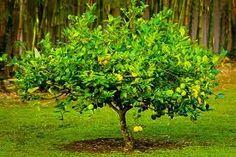 Image result for meyer lemon tree