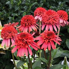 Echinacea Supreme 'Flamingo' Growing Conditions: Sun Size: 26 inches tall, 15 inches wide Zones: 4–10 Grow it with: Other echinacea