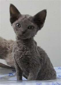 Saw a Devon Rex at work and fell in love a little :o