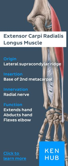 This muscle belongs to the radial #muscles of the forearm and performs hand extension, forearm abduction and elbow extension. Pin to master the human #anatomy