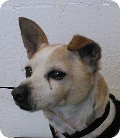 Corona, CA - Chihuahua Mix. Meet Kennel 37, a dog for adoption. http://www.adoptapet.com/pet/15997106-corona-california-chihuahua-mix