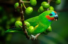 Double eyed fig parrot, found in Australia and New Guinea