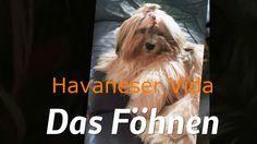 Hier zeige ich , wie ich meiner Havaneser Hündin nach dem Baden das Fell föhne. Musik: Spring In My Step / Silent Partner///Mr. Pink/Topher Mohr and Alex Elena