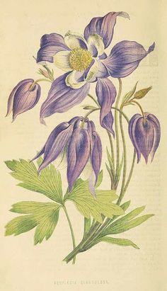 Siberian Columbine. Aquilegia glandulosa. Gorgeous deep violet-blue flowers. Plants are not the easiest to grow well. It has been used as a parent to make some beautiful, easier to grow Columbine hybrids. Published 1871.