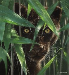 Black panther in bamboo.