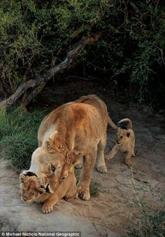 Some experts believe lions may live in prides to ensure the defense of their cubs