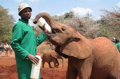 Volunteers enjoy weekend trips to David Sheldrick Wildlife Trust in Kenya African Impact, David Sheldrick Wildlife Trust, International Day, Modern City, Weekend Trips, Volunteers, Kenya, Safari, Elephant
