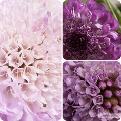 Growing Flowers for Gifts:  Scabious