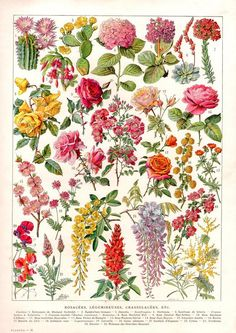 Antique Prints, Vintage Prints, Vintage Art, Antique Art, French Vintage, French Flowers, Vintage Flowers, Rose Flowers, Flowers Garden