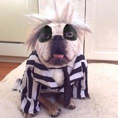 2018 Halloween Is Around The Corner, But These Adorable English Bulldog Pups Are More Than Ready To Celebrate! Check Out These Awesome Bulldog Costumes Now! Bulldog Halloween Costumes, Bulldog Costume, Funny Dogs, Cute Dogs, Funny Animals, Cute Animals, Funny Bulldog, Animals Dog, English Bulldog Puppies