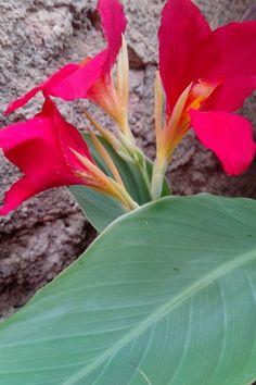 Nem só de lírios vivem os jardins, mas de seu verde e vermelho sim. #lirios #flower #flores #vermelhoeverde #vermelho