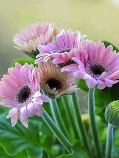 Gerbera s Rose All Flowers, Flowers Nature, Amazing Flowers, Beautiful Flowers, Good Morning Greetings, Plantation, Belleza Natural, Beautiful Gardens, Flower Art