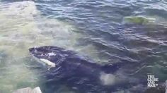 Watch as rescuers tend to a stranded Orca whale in B.C.
