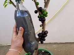 SUA PLANTA VAI ESTOURAR DE TANTOS FRUTOS COM ESSE LIQUIDO CONFIRAM. - YouTube Fruit Trees, Bonsai, Shrubs, Christmas Decorations, Make It Yourself, Green, Friends, Youtube, Cleaning Hacks