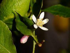 Wie Ihr einen Zitronenbaum pflanzen könnt, zeigt Euch dieser Beitrag, der Fragen zum Standort, zu den richtigen Zitronen Pflanzen und zur Pflege beantwortet