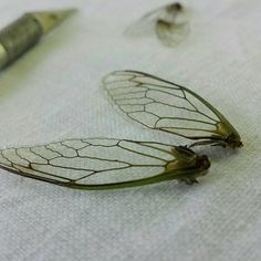 Perfect fairy wings made from cicadas! Etsy shop https://www.etsy.com/listing/242956940/these-are-dead-bugs-i-mean-really-cool