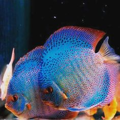 Discus Aquarium, Glass Aquarium, Discus Fish, Tropical Aquarium, Freshwater Aquarium Fish, Planted Aquarium, Tropical Fish, Aquatic Ecosystem, Cool Fish