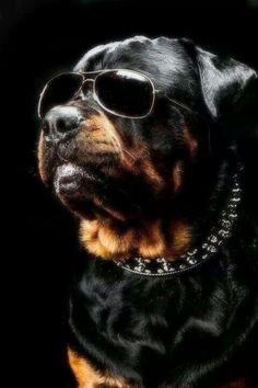 This Rottweiler is too cool for Pinterest