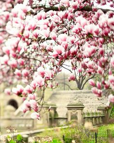 Spring Magnolia blossoms in Central Park, New York