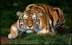 Tatiana the Siberian Tiger R. Shot to death at San Francisco Zoo back in December of Stop the caging of wild animals in fake habitats for human amusement. They are not exhibits. Most Beautiful Animals, Beautiful Cats, Beautiful Creatures, Beautiful Images, Tiger Wallpaper, Animal Wallpaper, Pumas, Wildlife Photography, Animal Photography
