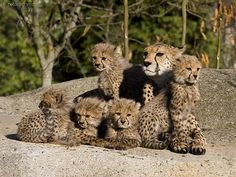 Cheetah supermom with five cubs!
