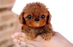 Brown Small Puppy In Hands Picture