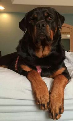 Majestic Rottie