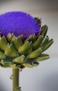 Artichoke about to bloom. Photo by Donna Severson of Plum Wild Photography in Aloha, Oregon.