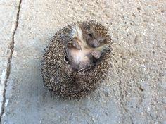 Sleepy Hedgehog #Myphotography #Greece #nature