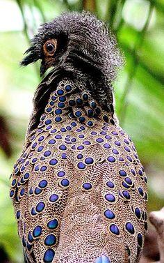Malayan Peacock Pheasant