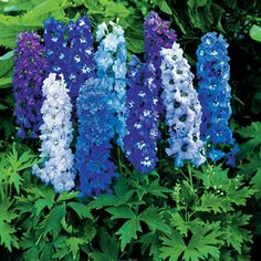 Delphinium Magic Fountain Mix from Park Seed