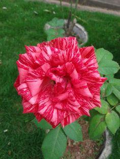 Rosa rajada